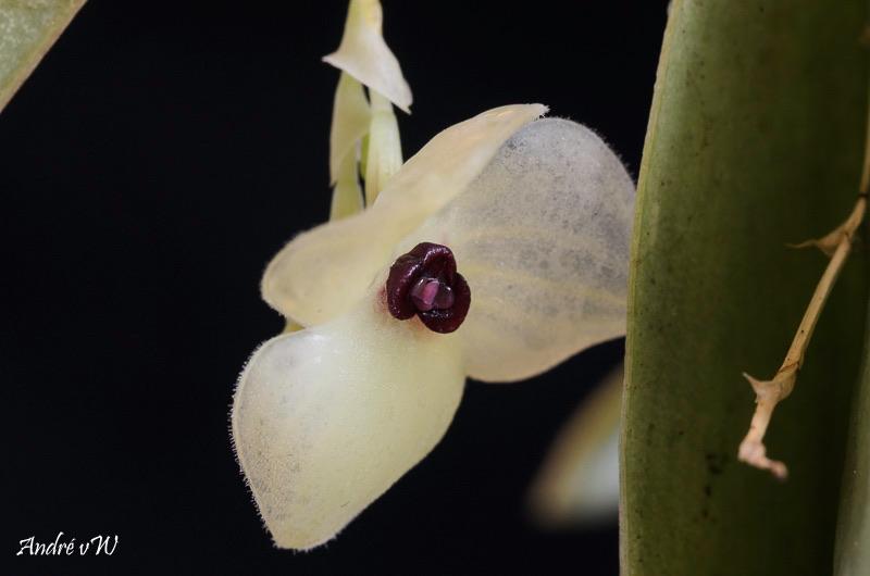Miniatur-Orchideen Teil 6 - Seite 15 85cb3810