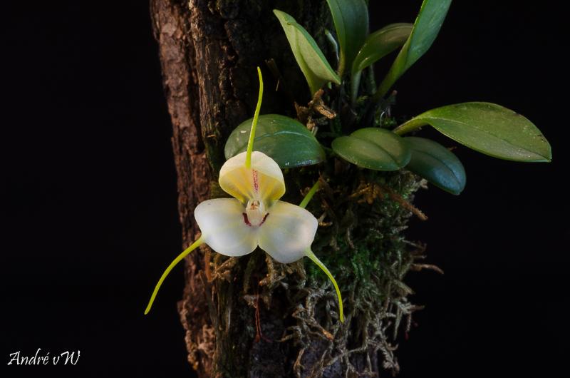 Masdevallia xanthina ssp pallida  A1b83710