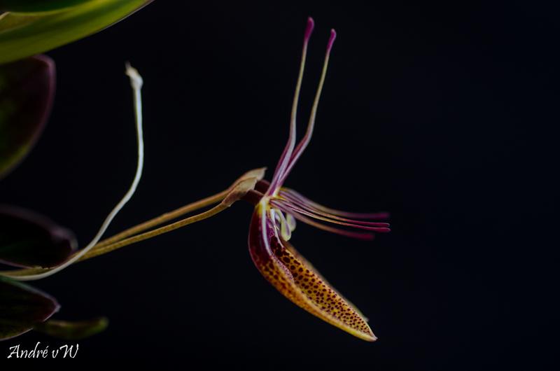 Miniatur-Orchideen Teil 5 - Seite 3 A369ed10