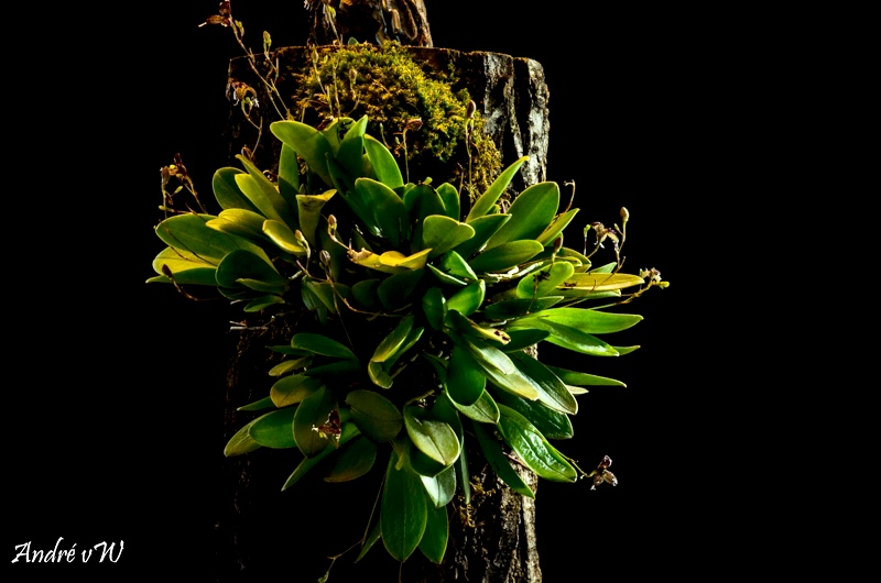 Miniatur-Orchideen Teil 4 - Seite 27 A5a06310