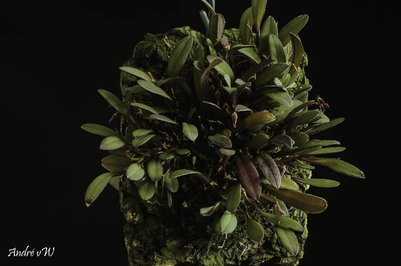 Miniatur-Orchideen Teil 5 - Seite 40 Anatha17