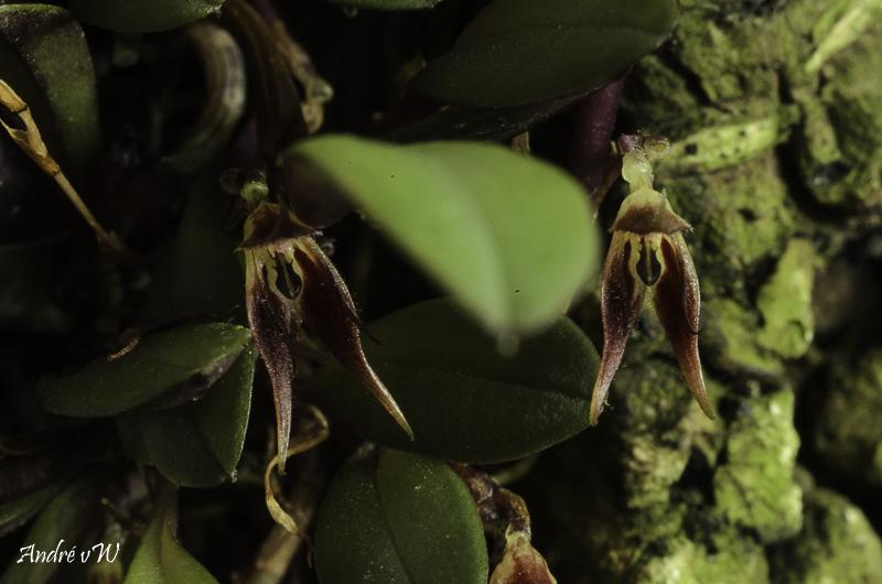 Makroaufnahmen von Miniaturorchideen - Seite 3 Anatha21