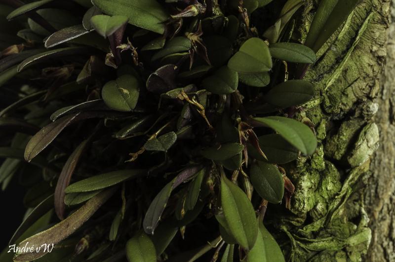 Makroaufnahmen von Miniaturorchideen - Seite 3 Anatha22