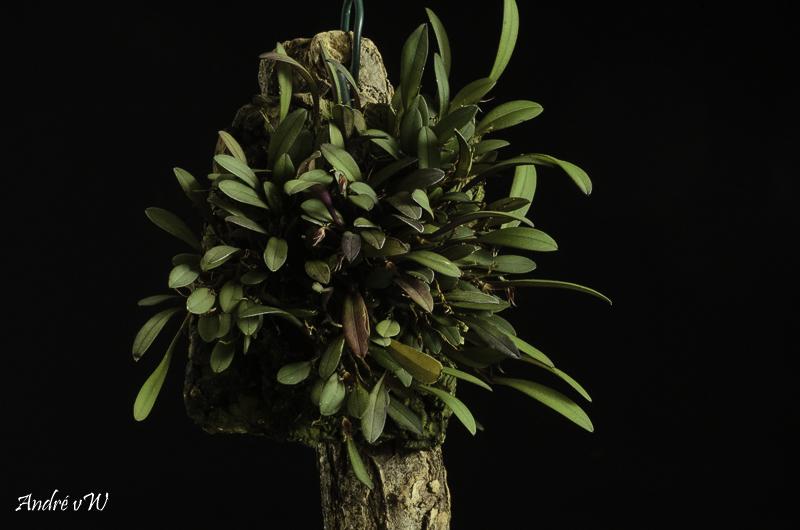 Makroaufnahmen von Miniaturorchideen - Seite 3 Anatha23