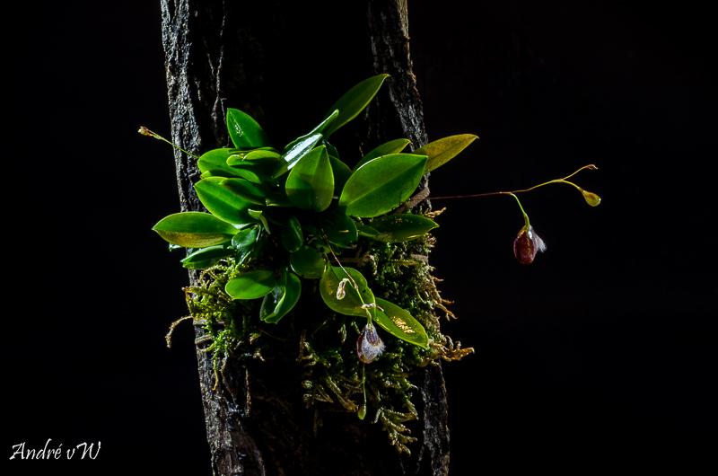 Miniatur-Orchideen Teil 4 - Seite 24 B2de7610