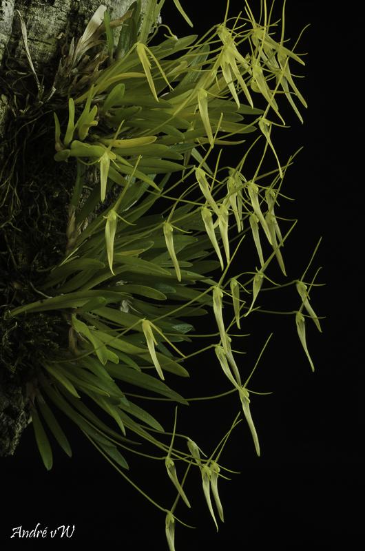 Miniatur-Orchideen Teil 5 - Seite 43 Barbos14