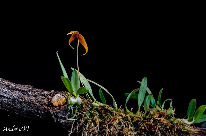 Miniatur-Orchideen Teil 5 Bulbop15