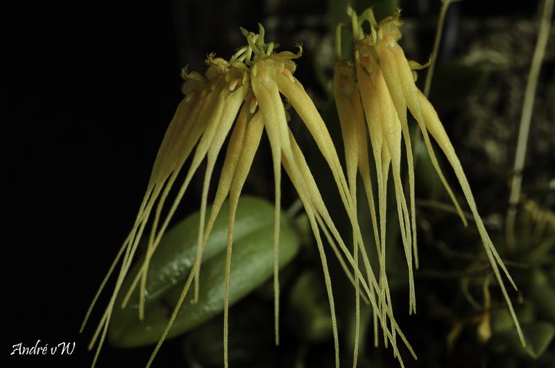 Bulbophyllum tingabarinum var apricot Bulbop28