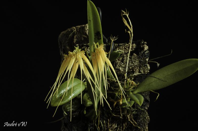 Bulbophyllum tingabarinum var apricot Bulbop30