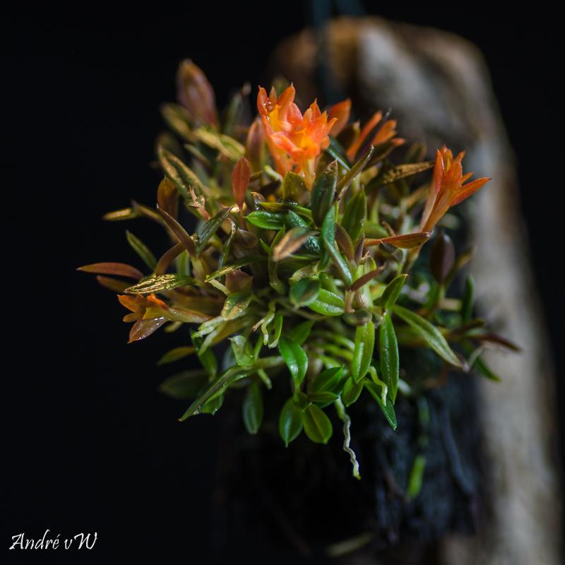Miniatur-Orchideen Teil 5 Dendro14