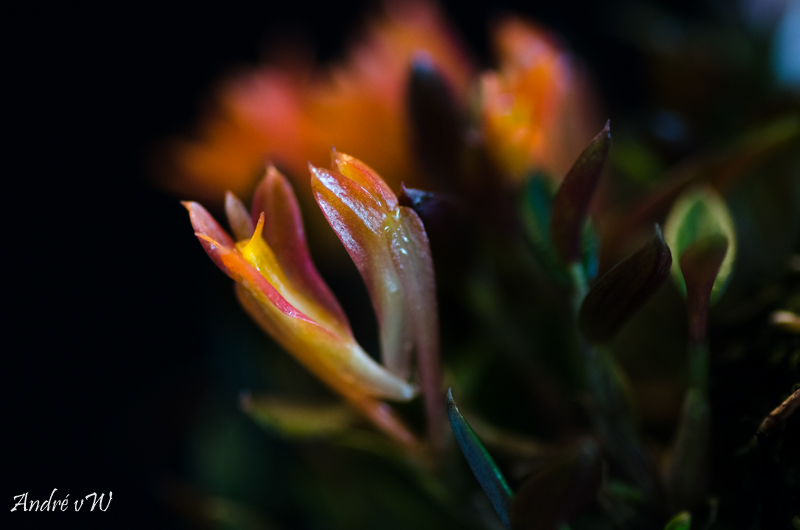 Miniatur-Orchideen Teil 5 Dendro16
