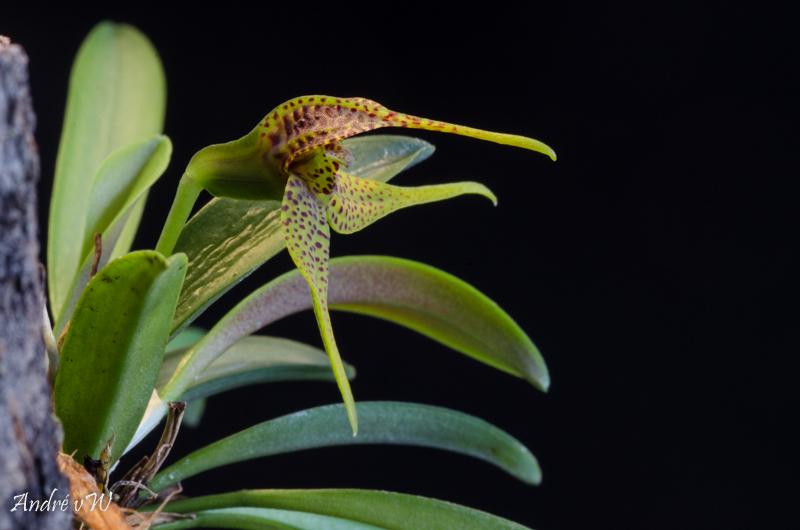 Miniatur-Orchideen Teil 5 Dryade10