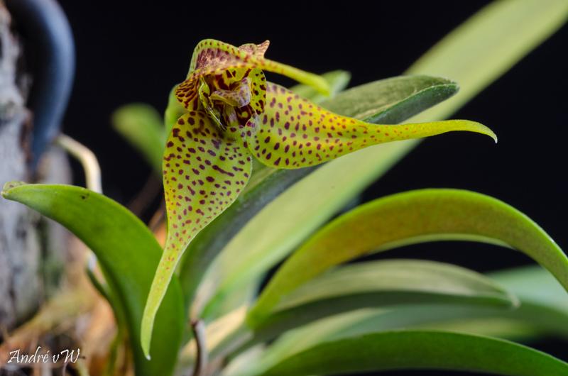Miniatur-Orchideen Teil 5 Dryade11
