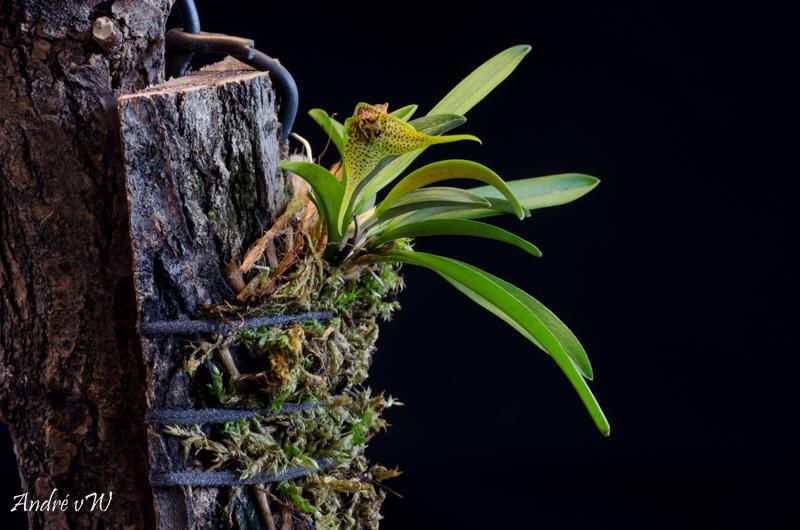 Miniatur-Orchideen Teil 5 Dryade12