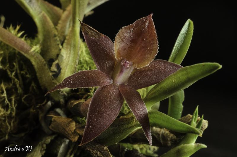 Epidendrum sophronitoides Epiden15