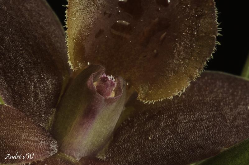 Epidendrum sophronitoides Epiden16