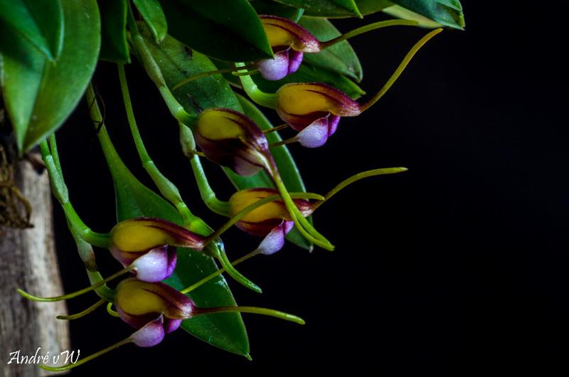 Miniatur-Orchideen Teil 5 - Seite 3 F4360210