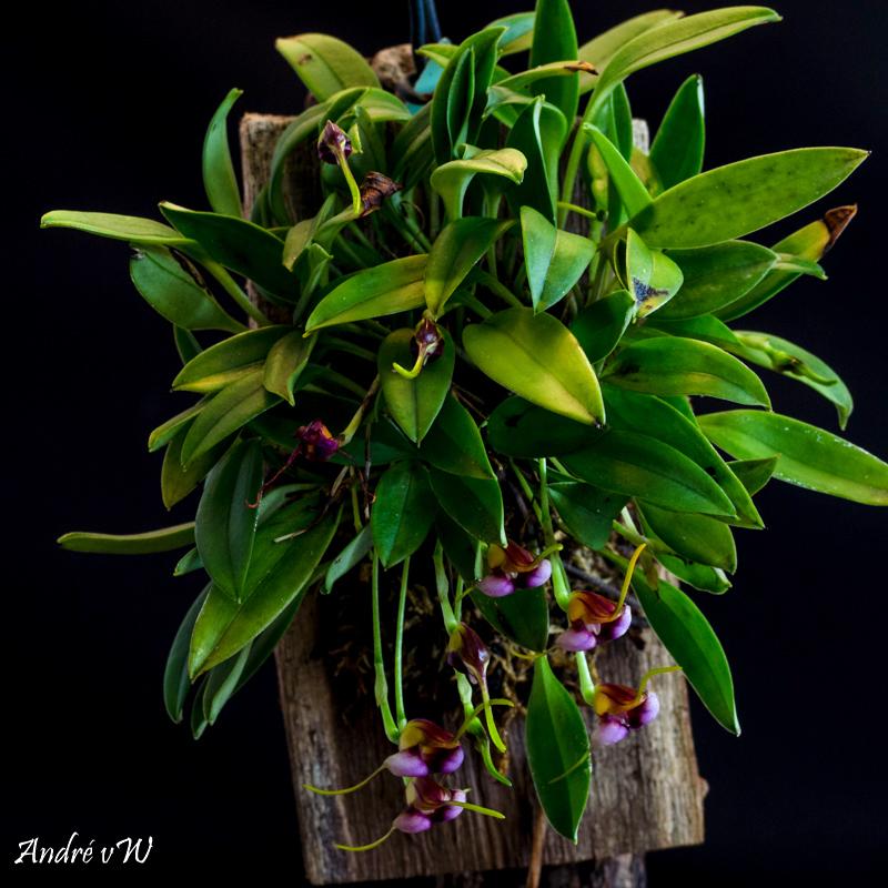 Miniatur-Orchideen Teil 5 - Seite 3 F9c74710