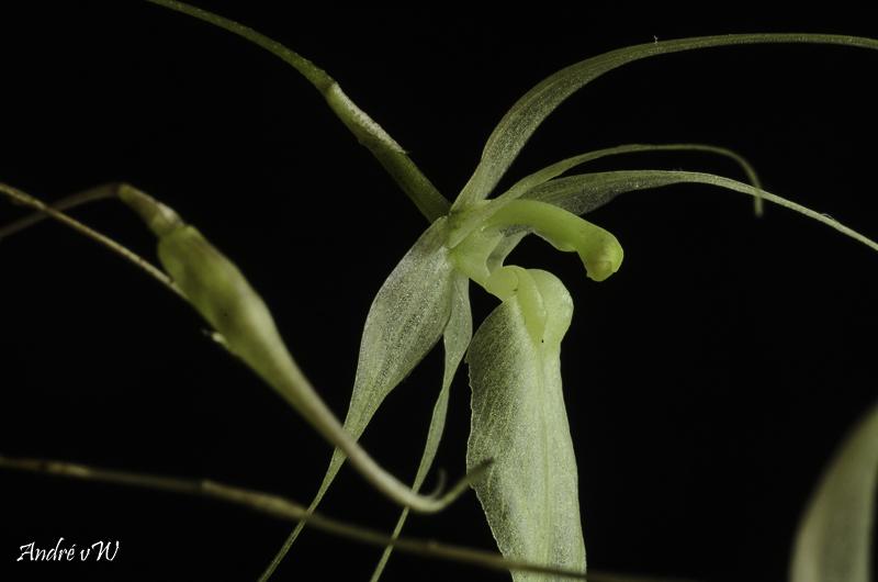 Miniatur-Orchideen Teil 5 - Seite 41 Homalo22