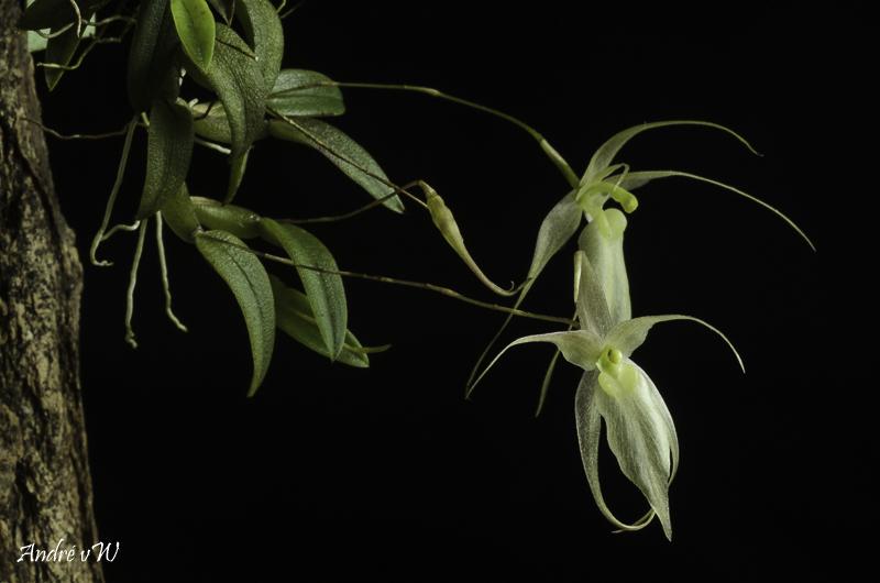 Miniatur-Orchideen Teil 5 - Seite 41 Homalo23