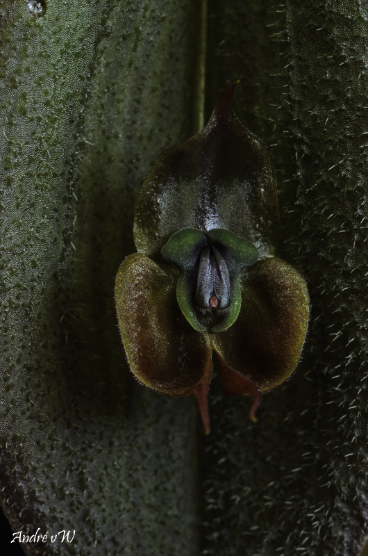 Miniatur-Orchideen Teil 6 - Seite 15 Lepan101