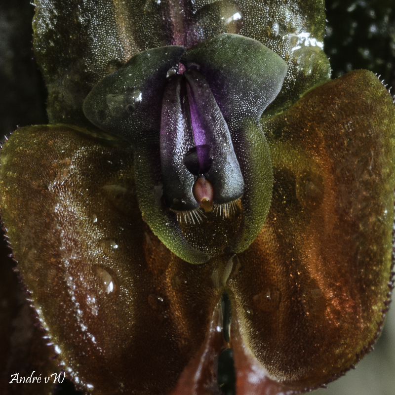 Makroaufnahmen von Miniaturorchideen Lepan106
