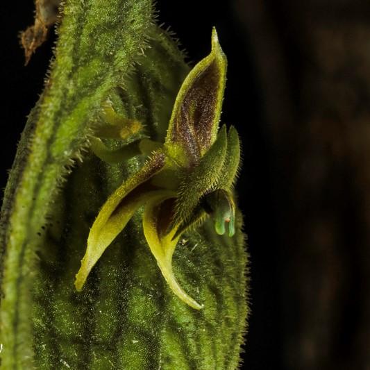 Makroaufnahmen von Miniaturorchideen Lepan108