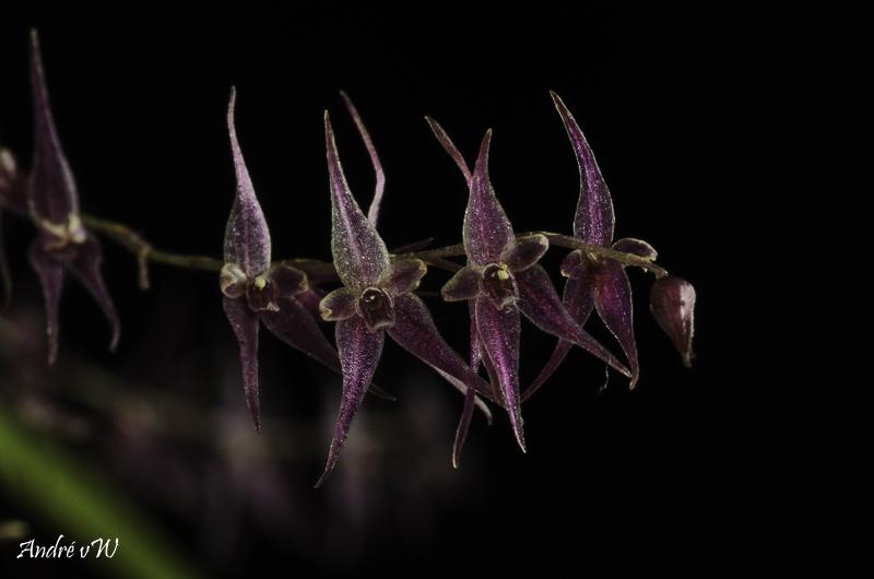 Makroaufnahmen von Miniaturorchideen Lepan111