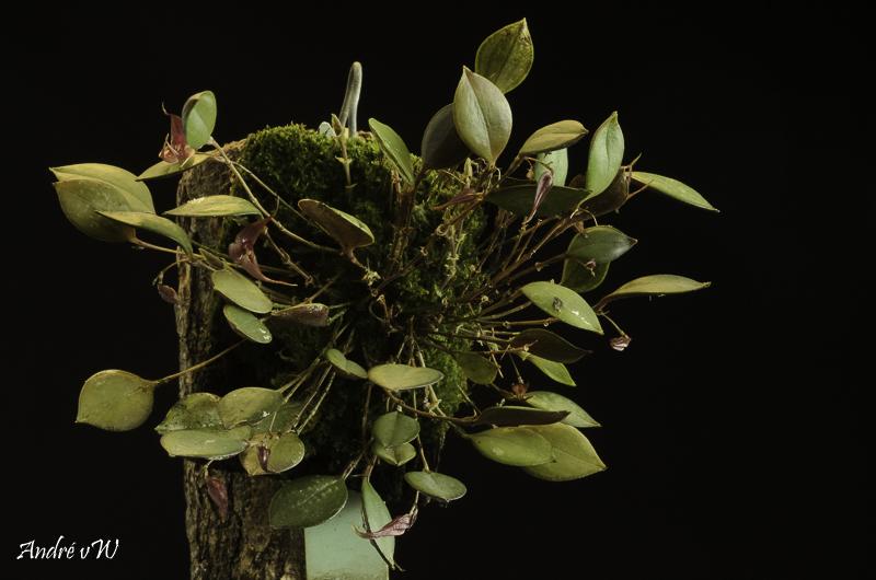 Lepanthes grandiflora Lepan114