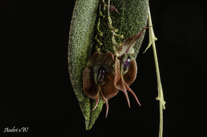 Lepanthes gargoyla Lepan116