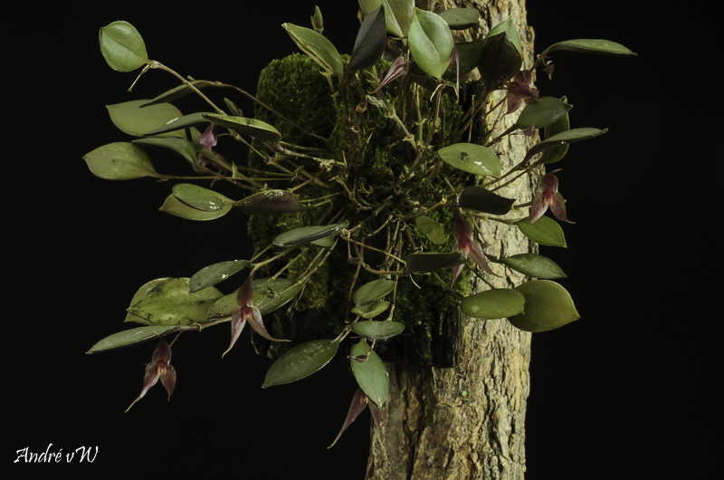 Lepanthes grandiflora Lepan121