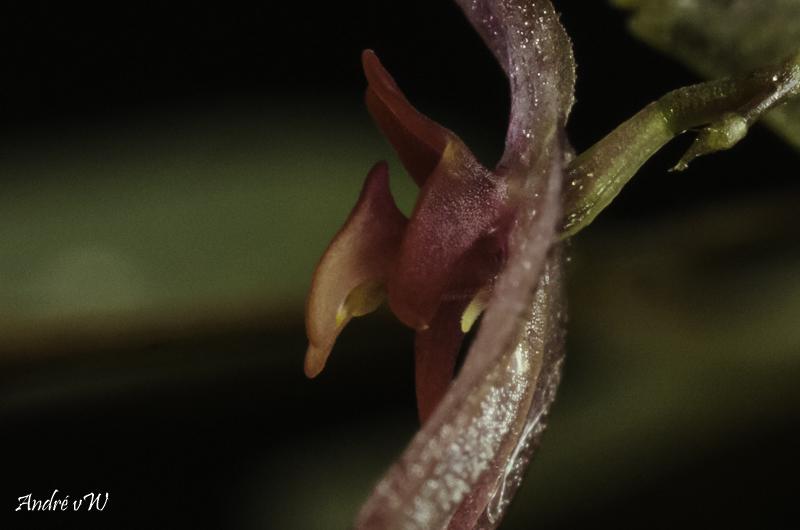 Lepanthes grandiflora Lepan122