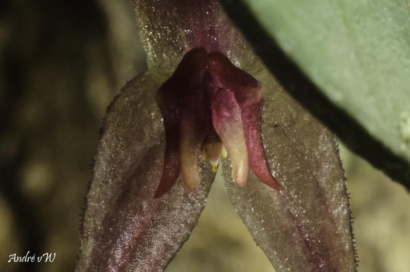 Lepanthes grandiflora Lepan123