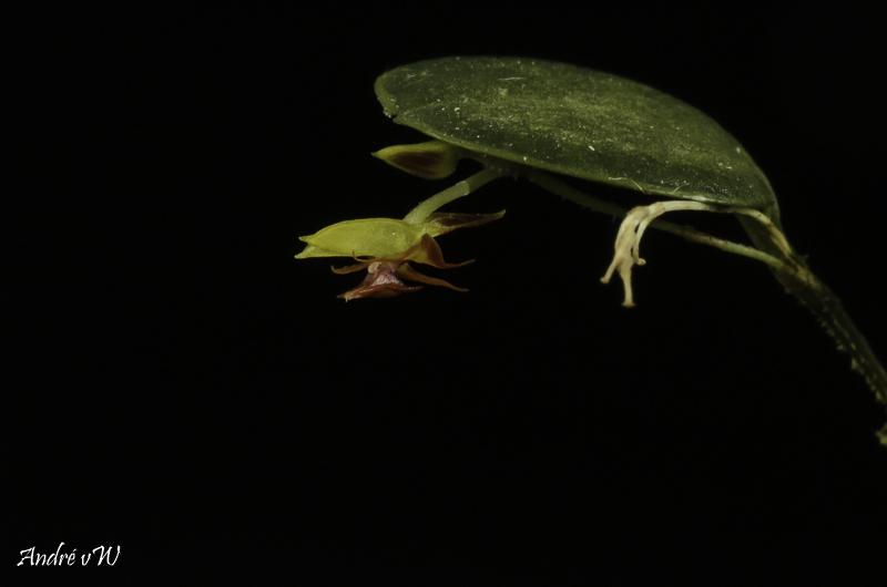 Lepanthes dictydion Lepan125