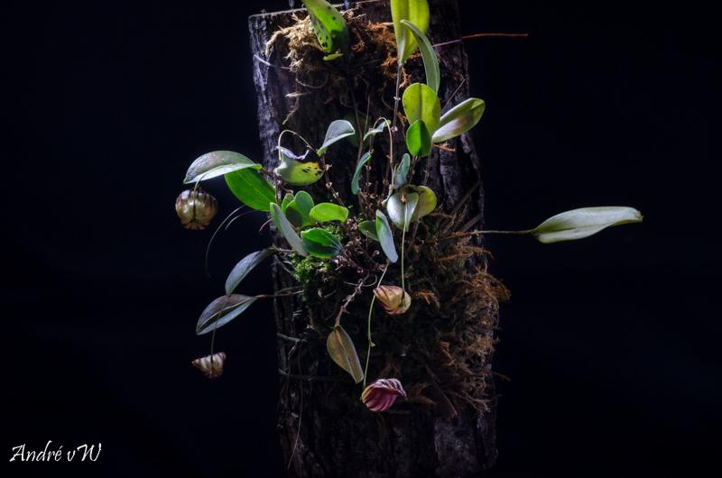 Miniatur-Orchideen Teil 4 - Seite 26 Lepant19