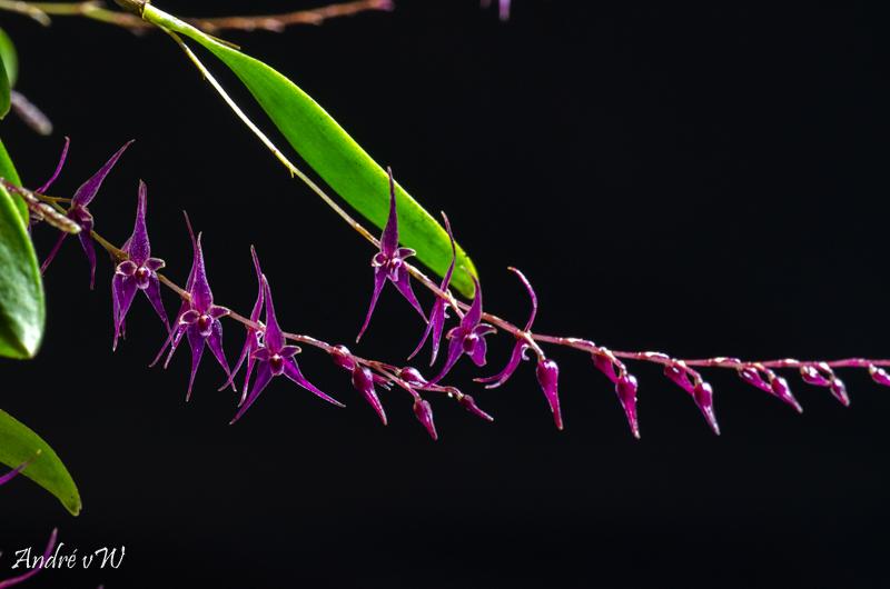 Miniatur-Orchideen Teil 4 - Seite 26 Lepant21