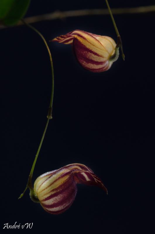 Miniatur-Orchideen Teil 4 - Seite 26 Lepant22