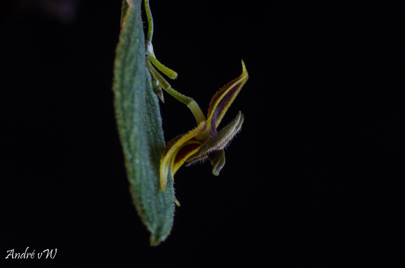 Miniatur-Orchideen Teil 5 Lepant23