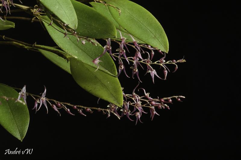 Miniatur-Orchideen Teil 5 - Seite 41 Lepant63