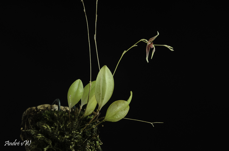 Miniatur-Orchideen Teil 6 Lepant65