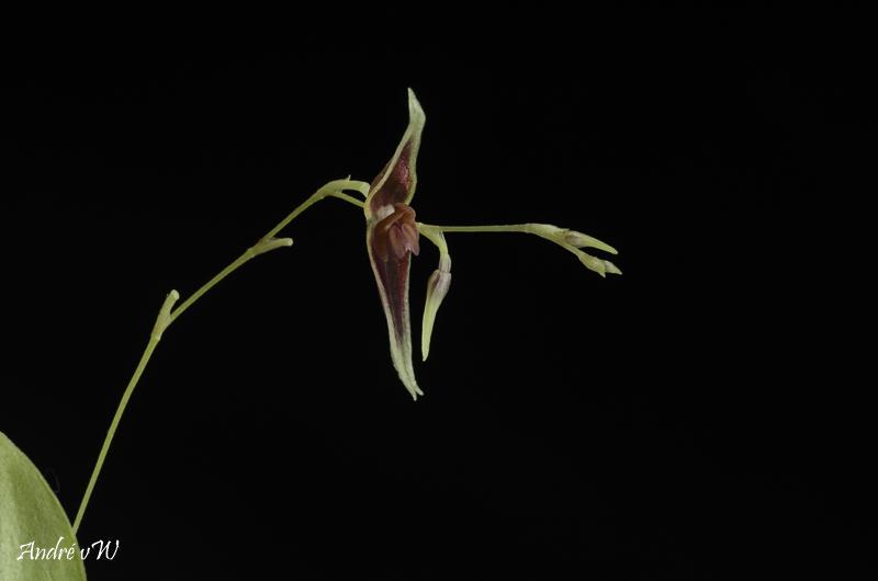 Miniatur-Orchideen Teil 6 Lepant66