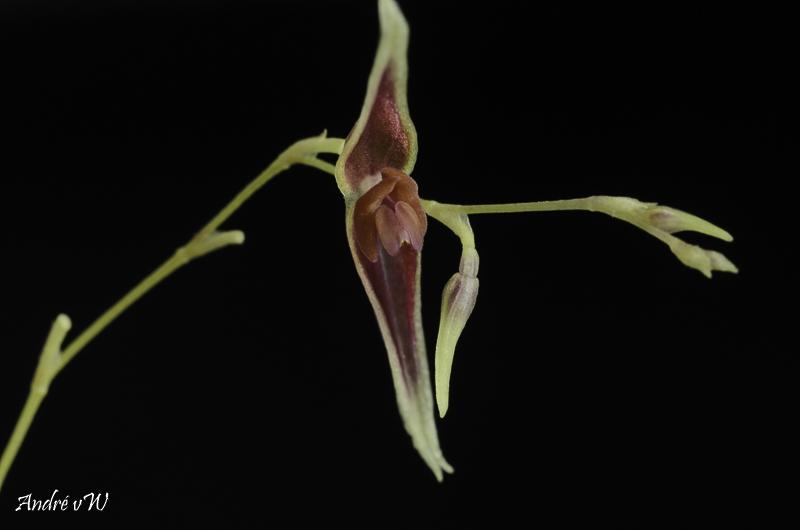 Miniatur-Orchideen Teil 6 Lepant67