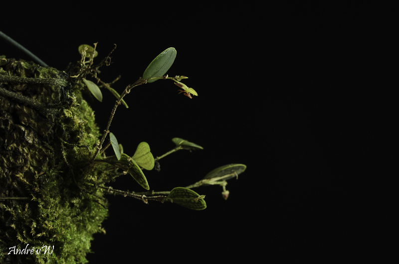 Miniatur-Orchideen Teil 6 - Seite 2 Lepant68