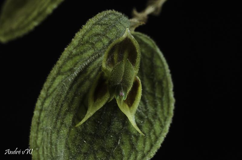 Miniatur-Orchideen Teil 6 - Seite 3 Lepant73