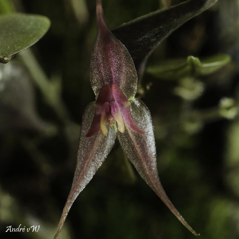 Miniatur-Orchideen Teil 6 - Seite 3 Lepant78