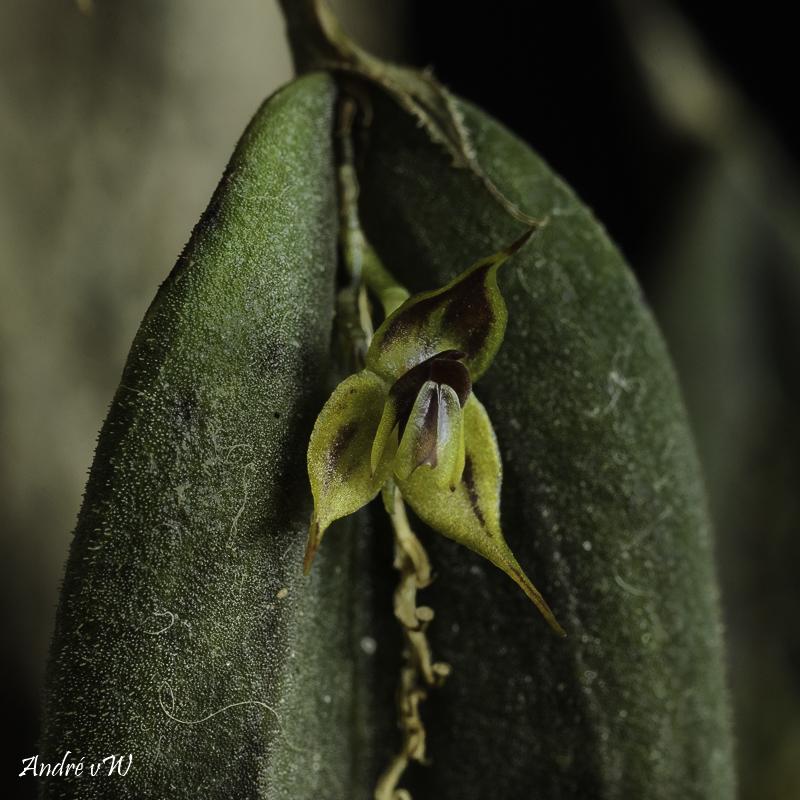 Miniatur-Orchideen Teil 6 - Seite 3 Lepant80