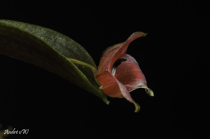 Lepanthes lucifer Lepant84