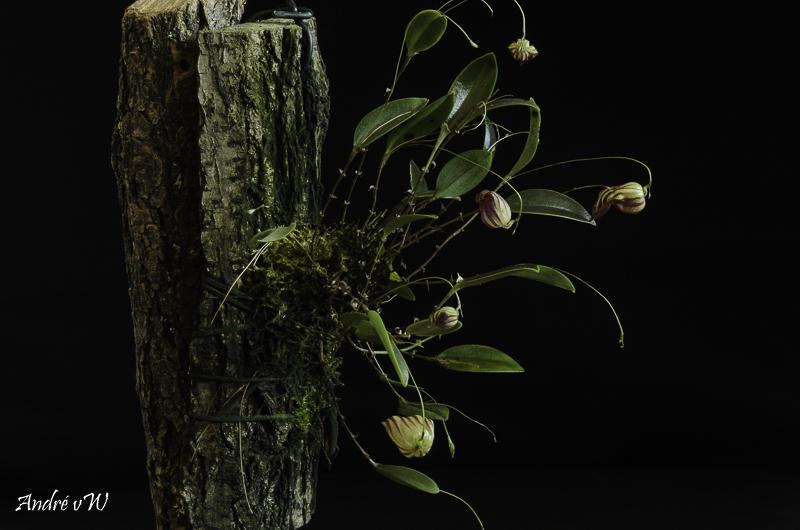Miniatur-Orchideen Teil 6 - Seite 6 Lepant85