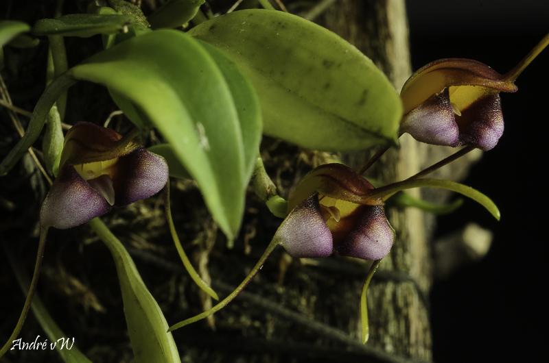 Miniatur-Orchideen Teil 5 - Seite 40 Masde141