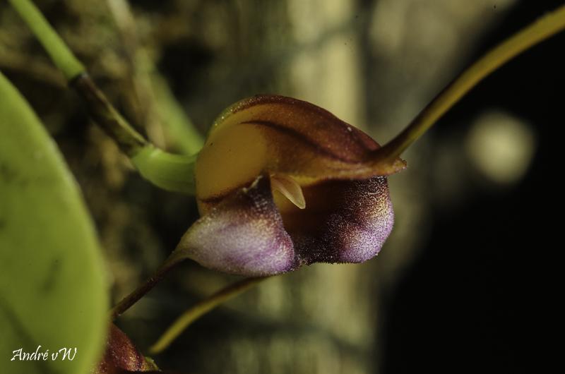 Miniatur-Orchideen Teil 5 - Seite 40 Masde142